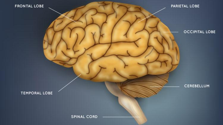 Интересные особенности нашего мозга